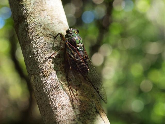 ニュージーランド セミ コーラス 合唱 種類 昆虫 虫 鳴き声 オークランド ティリティリ 島