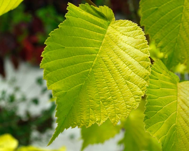 s-golden elm ニュージーランド NZ 若草 黄緑 葉 木 街路 公園 湖 北島 南島 樹 ケヤキ