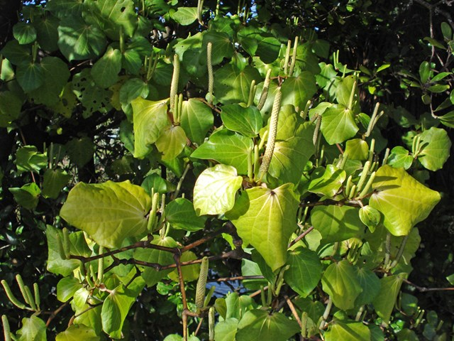 kawakawa カワカワ ニュージーランド 植物
