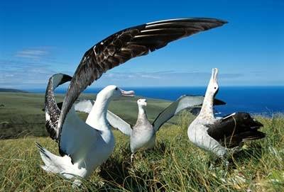 s-royal albatross アルバトロス アホウドリ ニュージーランド ダニーデン オタゴ